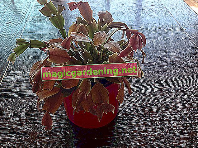 Les orchidées ont des feuilles tombantes - conseils sur la cause et le traitement