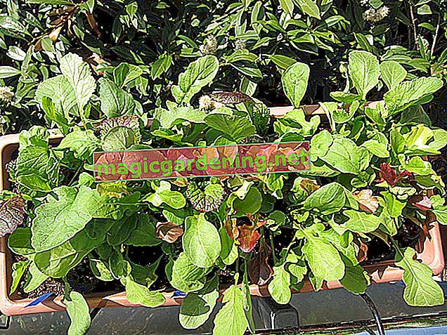Faites pousser de la laitue facilement sur le balcon