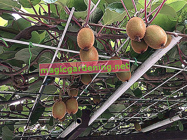 Kiwi also grow in the bucket