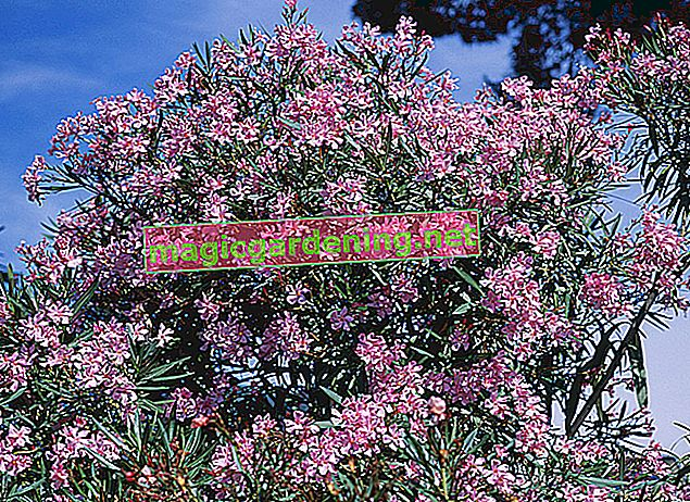 Oleander fruits - cut off or let ripen?