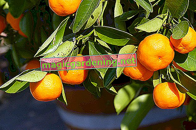 Suitable varieties for magnolia bush