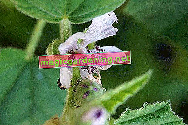 Comment planter du jasmin parfumé dans le jardin