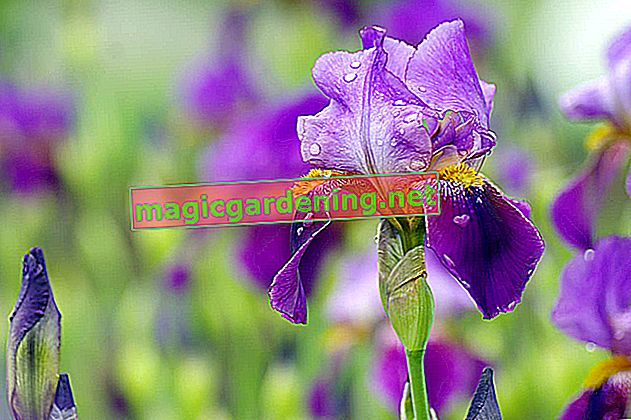 Izrežite iris pravilno