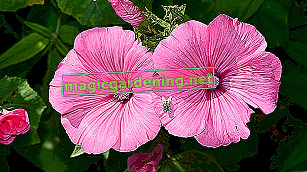 Caring for mallow properly