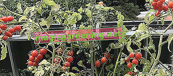 Tomatoes are rotting - why it is - that must be done