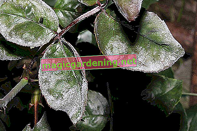 Powdery mildew on parsley - recognize and prevent