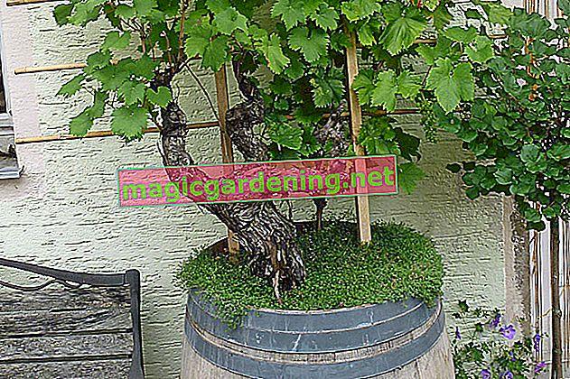 Planting an old wine barrel