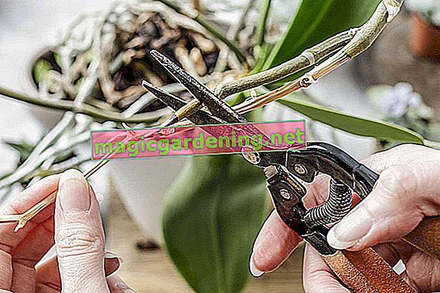 Couper les racines d'orchidées - quand et comment bien faire les choses