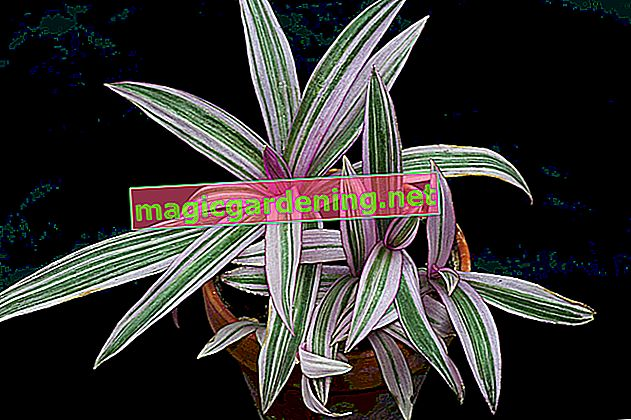 The easy care of the three-masted flower Tradescantia pallida