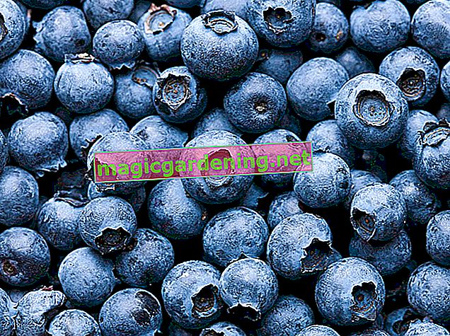 Why blueberries are also called blueberries