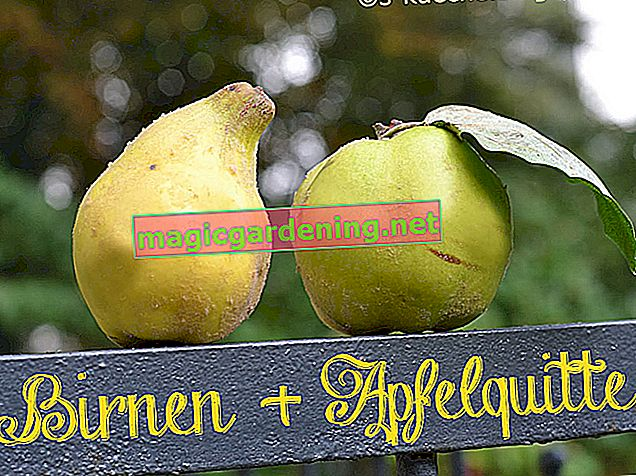 What is the difference between apple quince and pear quince?