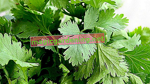 Plant and care for coriander in the pot correctly
