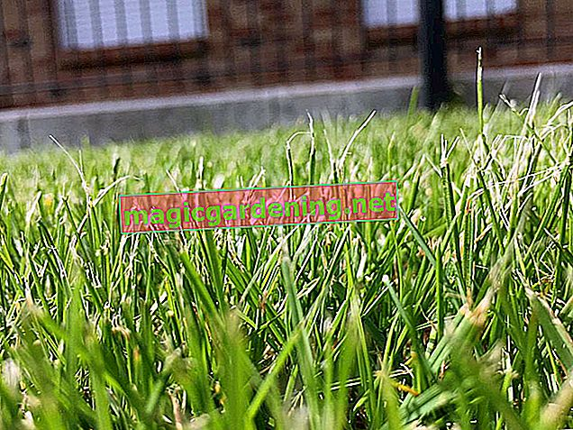 When does iron fertilizer really help against moss? - Tips against moss-covered lawns