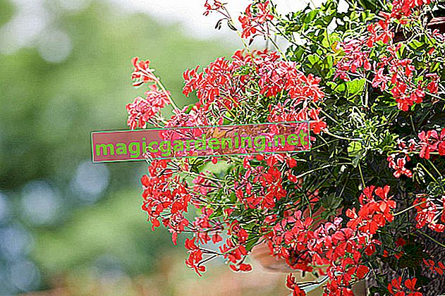 For ever-recurring blooms: successfully propagate geraniums