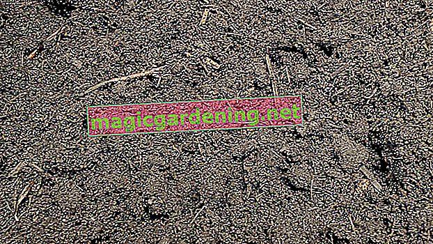 Crvene hortenzije trebaju pravo tlo