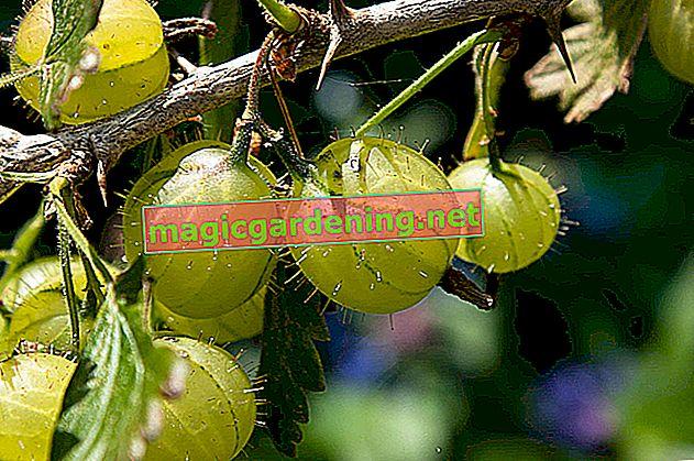 Variétés de groseilles recommandées pour le jardin d'agrément