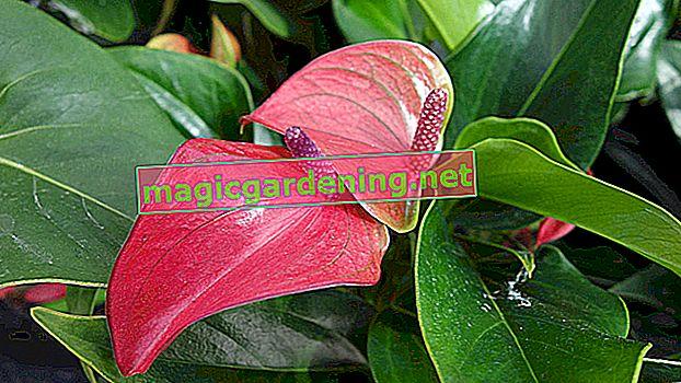 Prendre soin de la grande fleur de flamant rose (anthurium andreanum)
