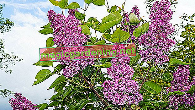Dig up and move lilacs - instructions and tips