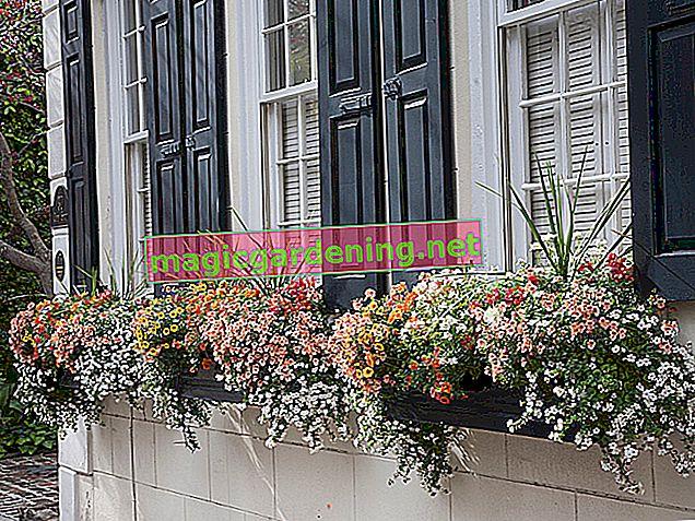 Le pétunia: la beauté des fleurs suspendues dans la boîte de balcon