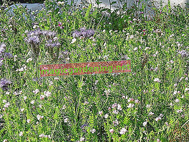 Zelene gusjenice na biljkama - vrste i krmno bilje