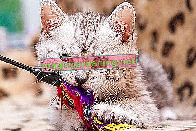 Luk konopí je vysoce toxický - nejen pro kočky