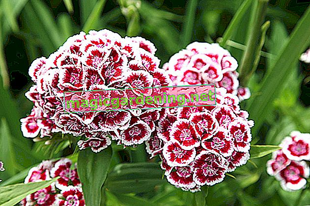 Most carnations are hardy