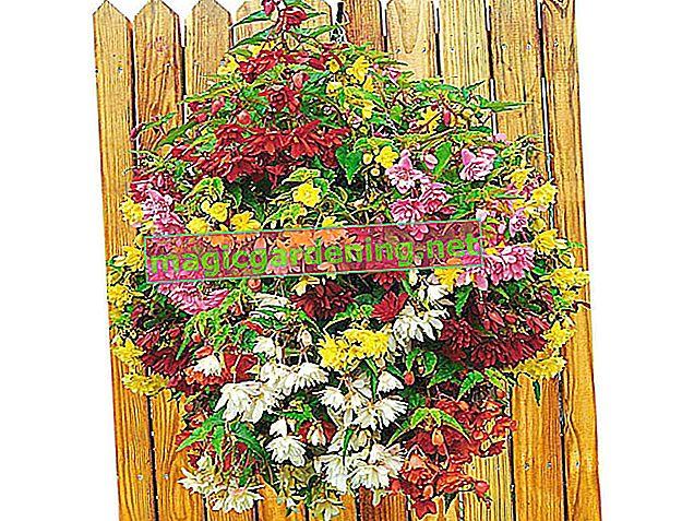 Sadite begonije u pravo vrijeme