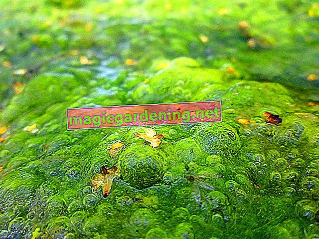 Što učiniti kada zelene alge opsjedaju vrtni ribnjak?