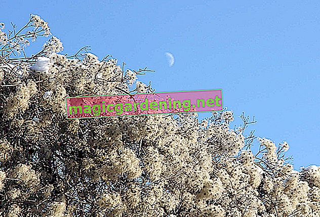 Trebaju li izdržljivim hortenzijama dodatnu zimsku zaštitu?