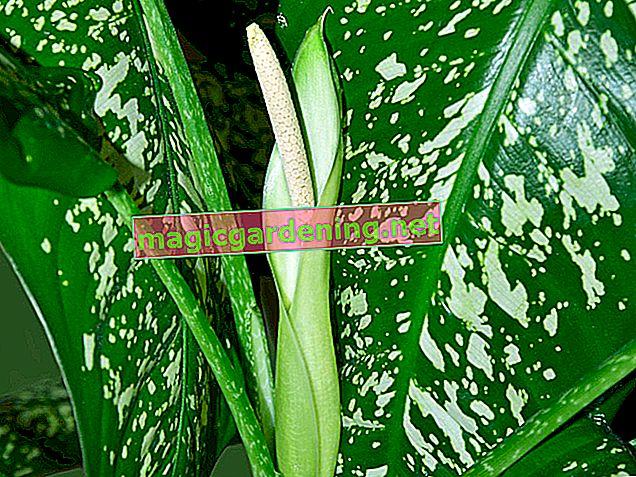 Cvjetovi tikvica - koristan i nježan biljni ukras