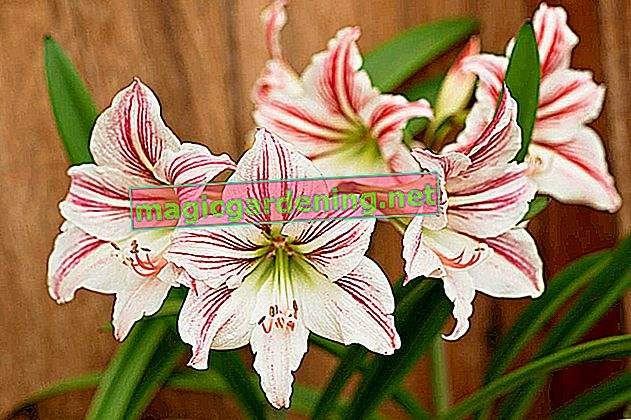 How often should i water my amaryllis?