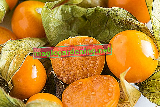 Do not sow physalis too late