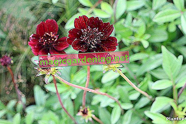 Chocolate flower hardy