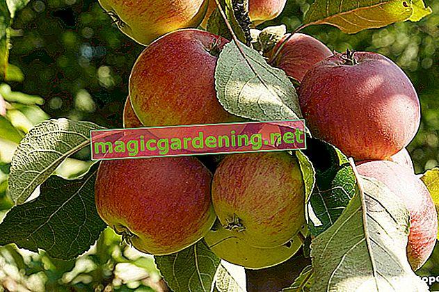 Einen Apfelbaum im Herbst schneiden