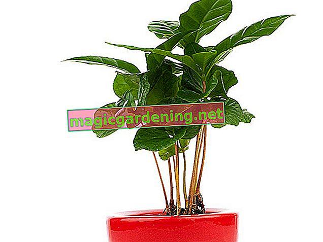 Kahve bitkisi ev bitkisi olarak uygun mu?