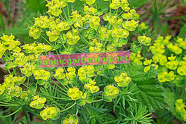 Euphorbia ingens - about caring for cactus spurge