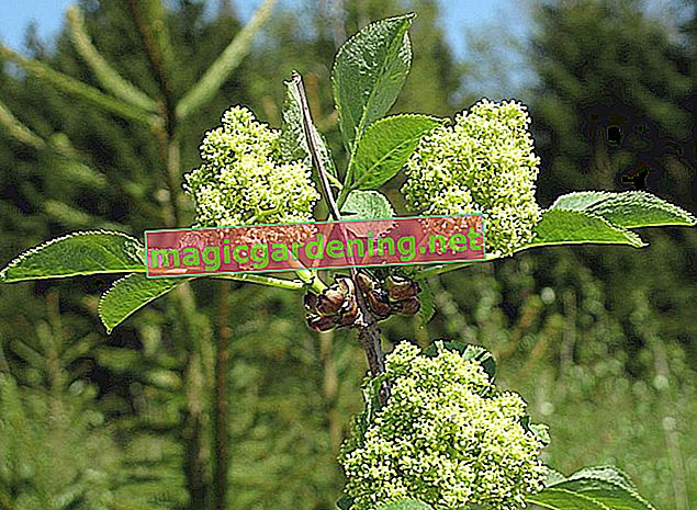 Is red elderberry always poisonous?