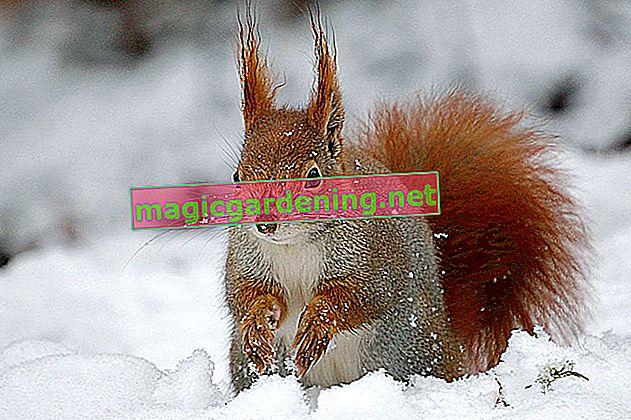 Scoiattolo in inverno - ibernazione con pause