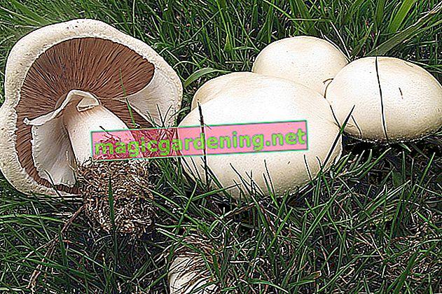 Alcuni funghi possono essere velenosi