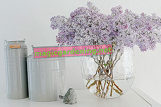 Lilacs in the vase: the best tips for a longer shelf life