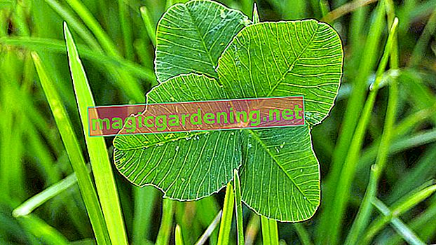 Clover instead of lawn in the garden