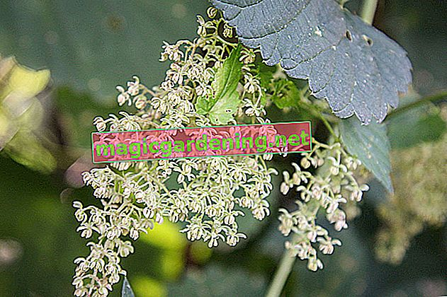 Hops have either male or female flowers