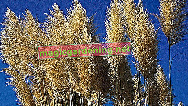 Sjetva pampasove trave - kako razmnožavati ukrasnu travu