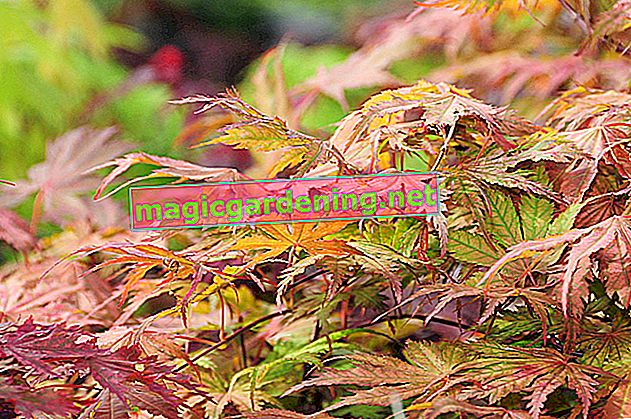The most beautiful types of maple for beds and balconies - hand-picked varieties