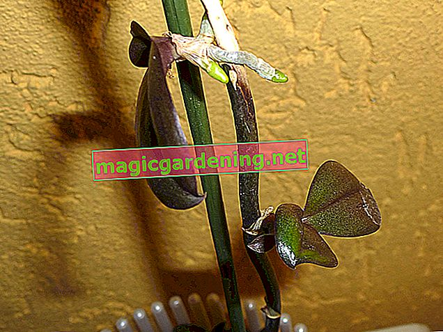 Growing orchids yourself - tips for vegetative and generative propagation