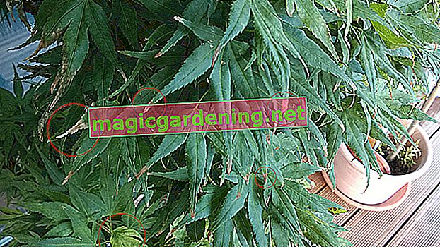 Prevent brown leaf tips of the hemp palm