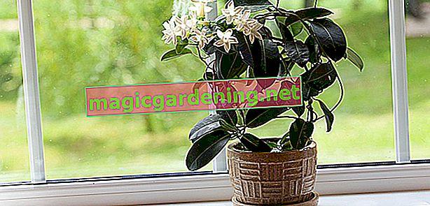 Yasemin çiçeği bir ev bitkisi olarak koruyun