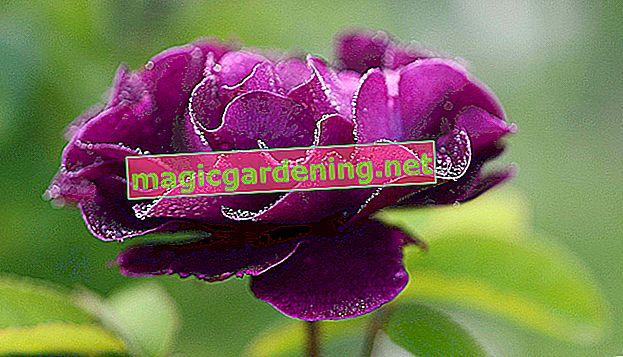La Schefflera est en fleurs - tout ce que vous devez savoir à ce sujet