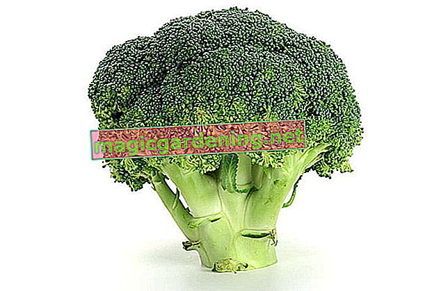 Harvest broccoli all year round - this is how it works