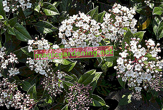 Is Viburnum tinus hardy in this country?